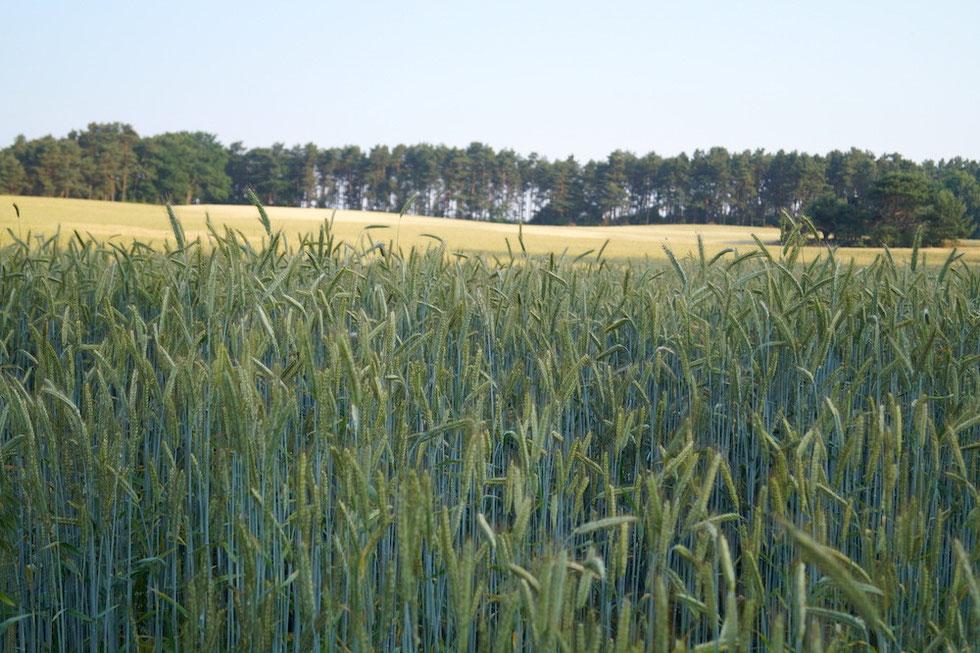 Das Korn schimmert bläulich in der Morgensonne.