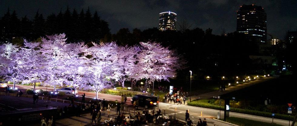 Kirschblüte am Hinokicho Park