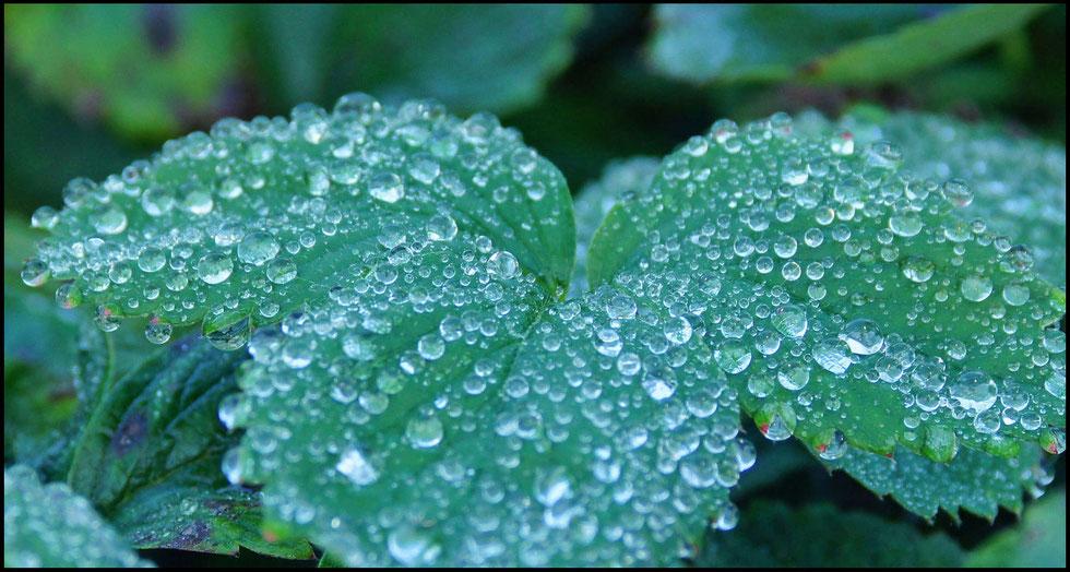 Листок садовой земляники, усеянный каплями воды