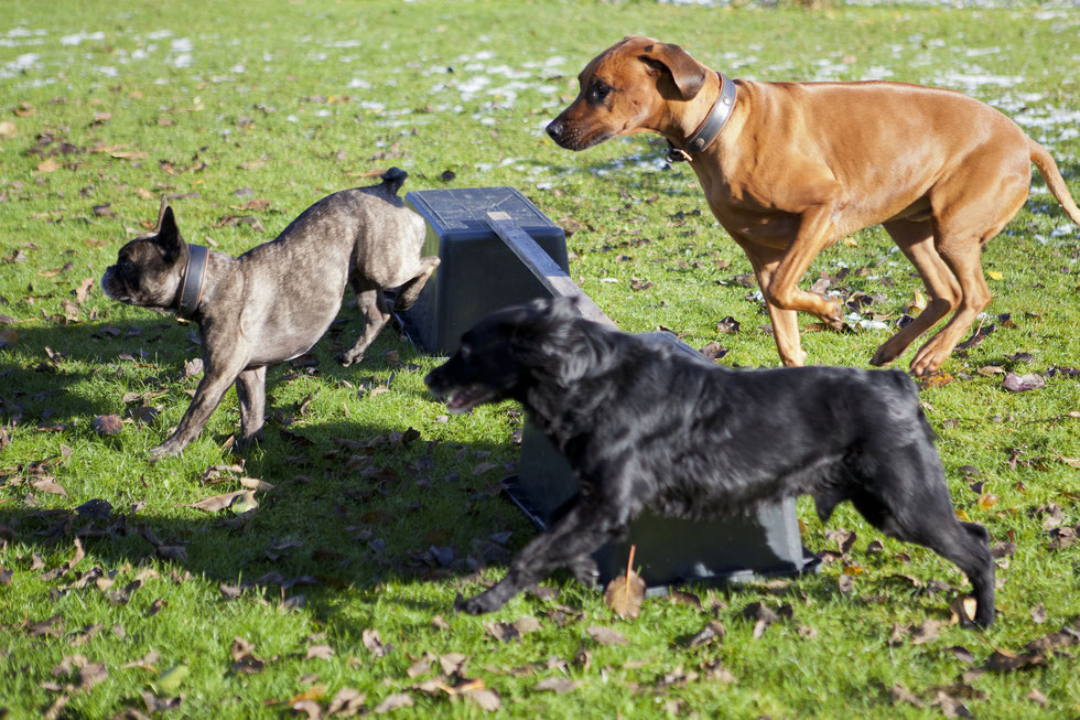 Hunde im Sprung