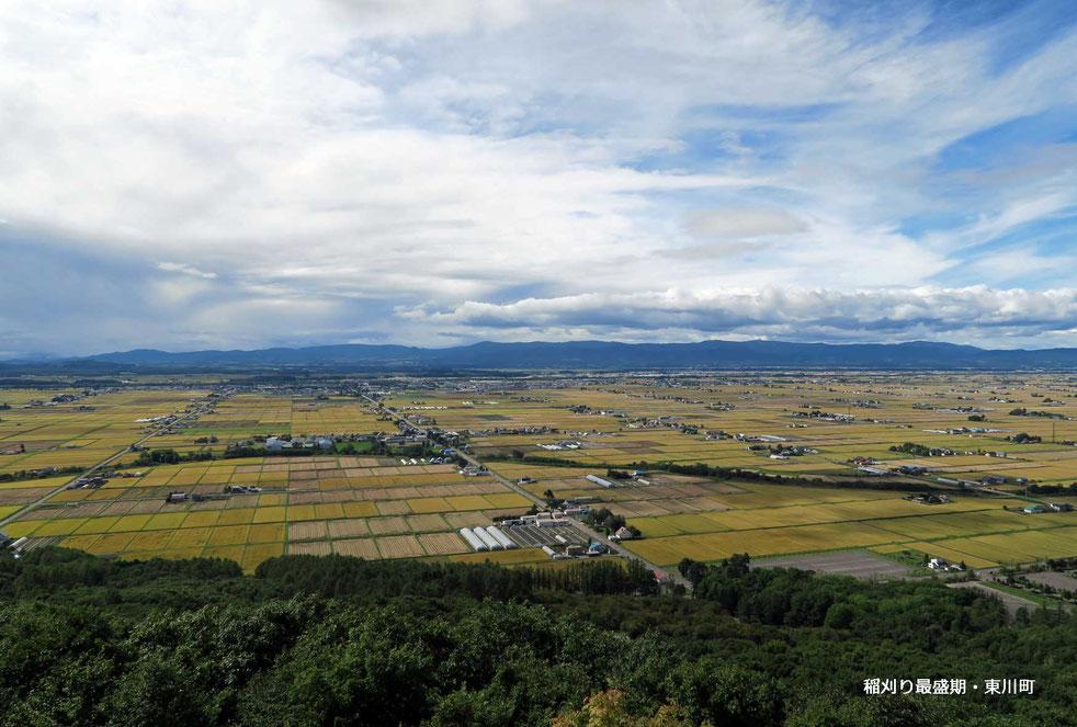 稲刈り最盛期・東川町