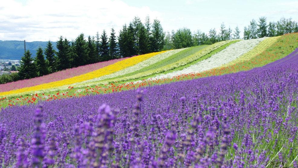 ラベンダーが美しい富良野の丘の風景