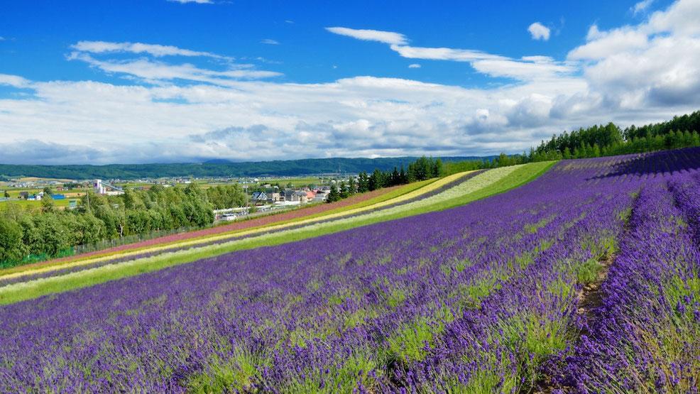 美しい自然 ラベンダー畑の風景