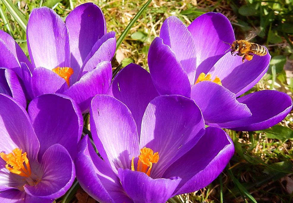 Frühlings-Krokus mit Honigbiene von Ruth Brosche, Ahnatal