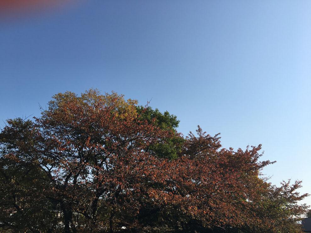 事務所前の桜 紅葉終わりそう 11月