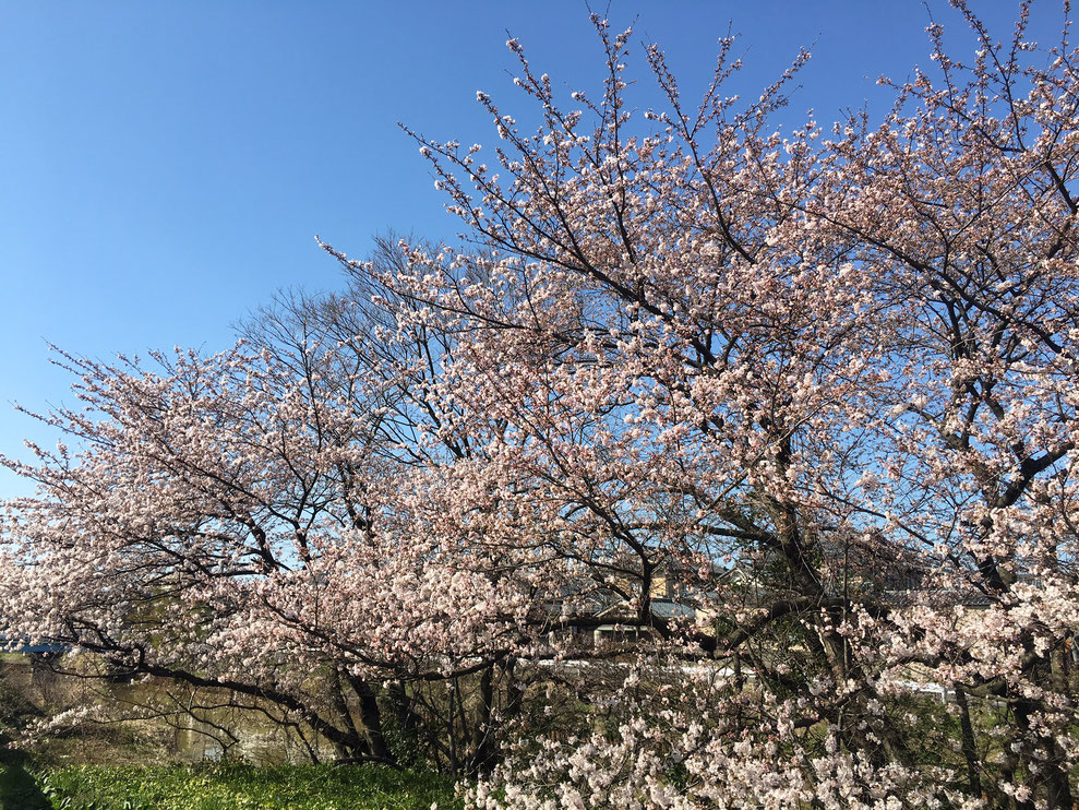 Craft 事務所前 桜の木 栗の木川
