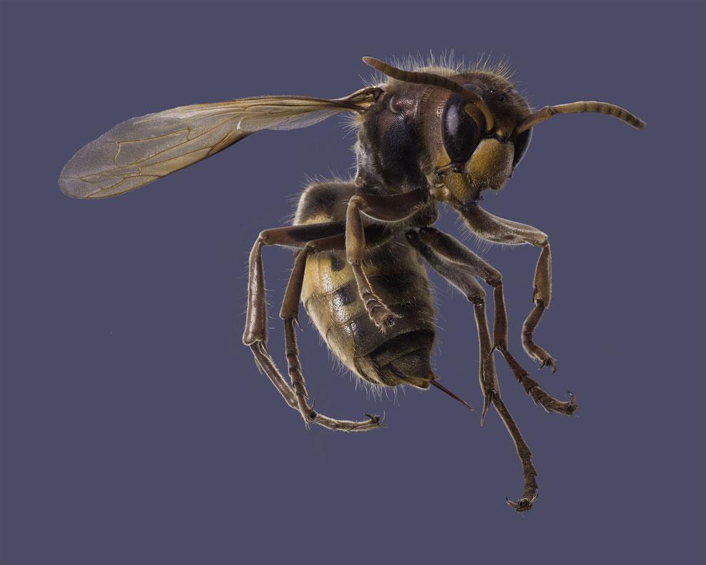 Hornisse, Hornet, european hornet, vespa crabro
