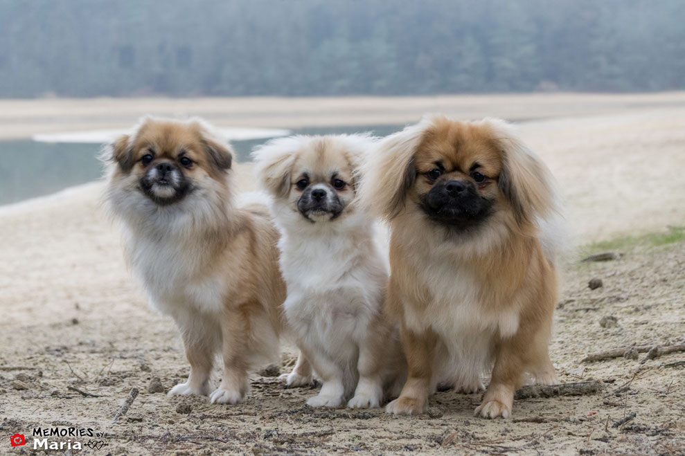 Tibetaanse Spaniel Tibetan Spaniels puppy