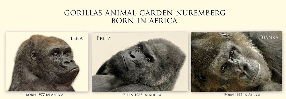 Gorillas Animal-Garden Nuremberg