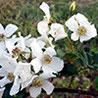 R. glomerata