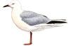 Goéland railleur (Chroicocephalus genei)