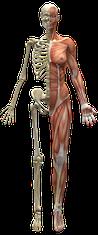 Skelett und Muskelsystem