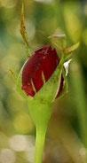 Bourgeon floral de Rosier