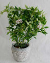 Hoya bella Zimmerpflanze Wien kaufen