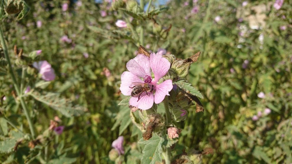 Althea officinalis, la guimauve, est une plante médicinale et alimentaire dont on utilise les fleurs, les feuilles ainsi que les racines. Les abeilles aiment aussi ...