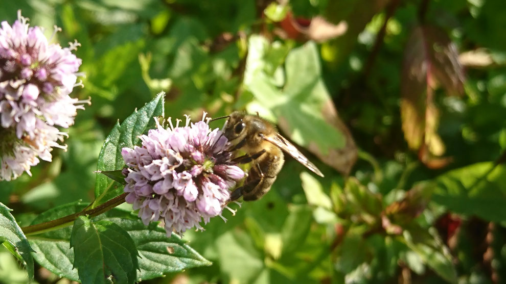Une abeille profitant du nectar d'une menthe poivrée (Mentha x piperita) dans l'Abbaye de Daoulas (29)