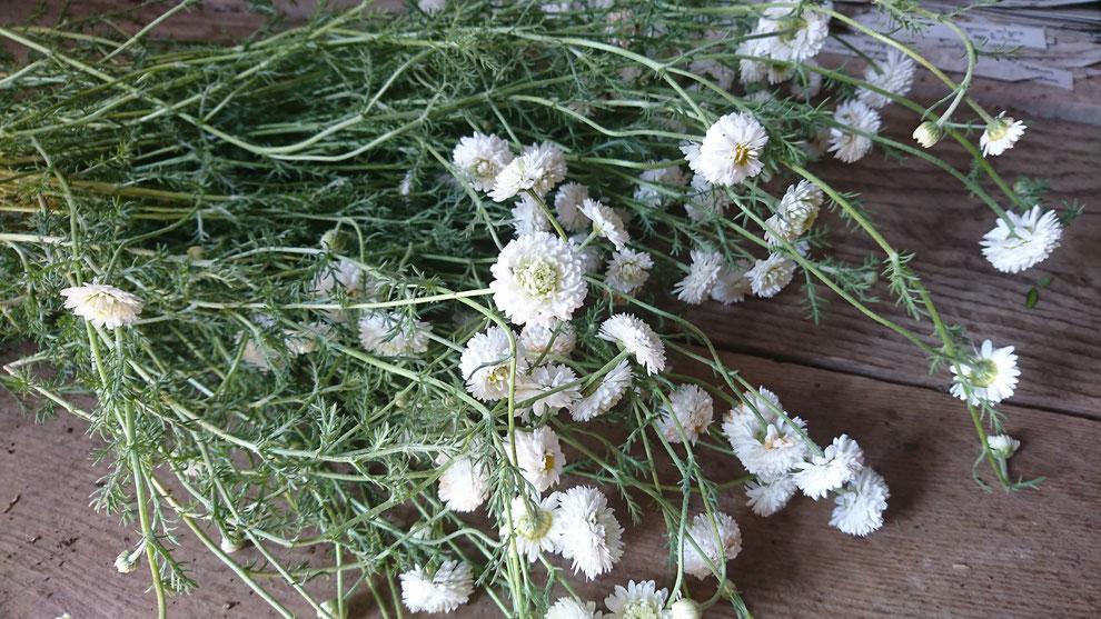 Récolte de camomille à fleurs doubles, Chamaemelum nobile 'Flore Pleno' pour le séchage et utilisation en hiver.