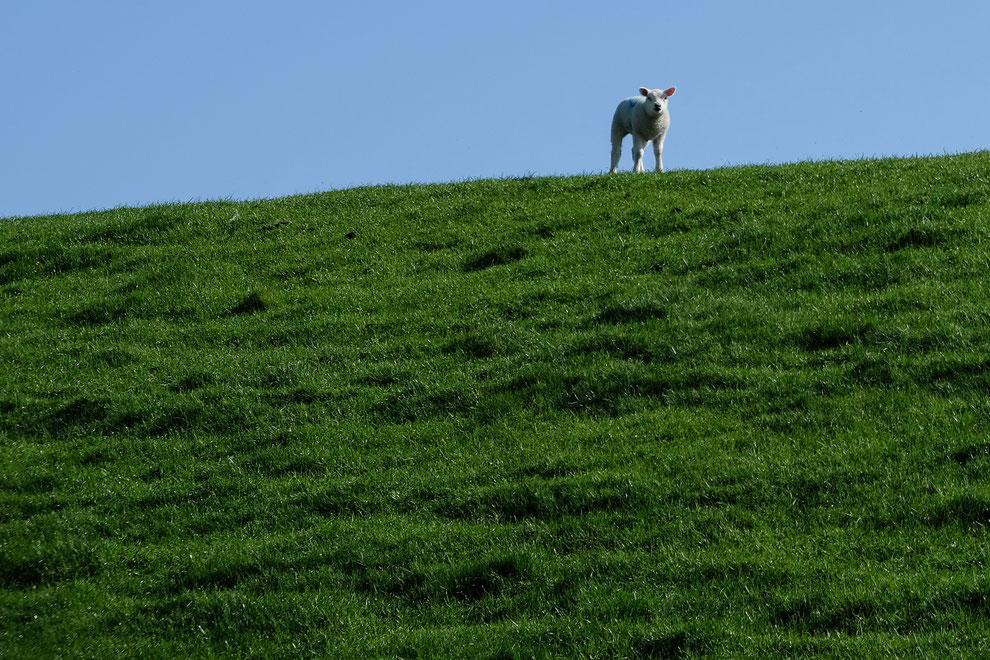Lamm auf der Insel Texel, Foto Grafberger