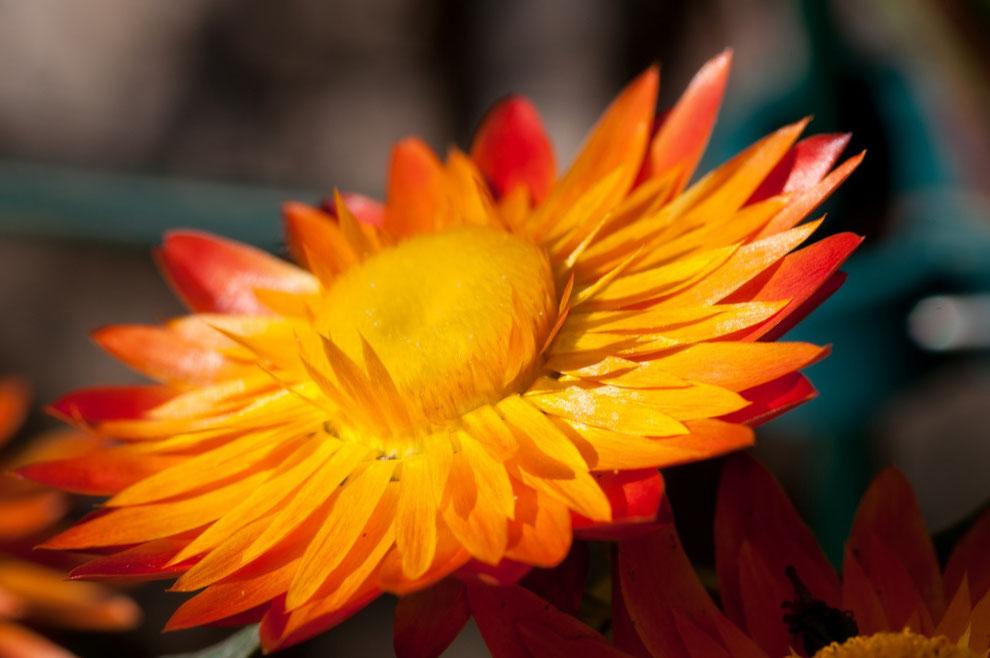 Strohblume (Helicrysum bracteatum)