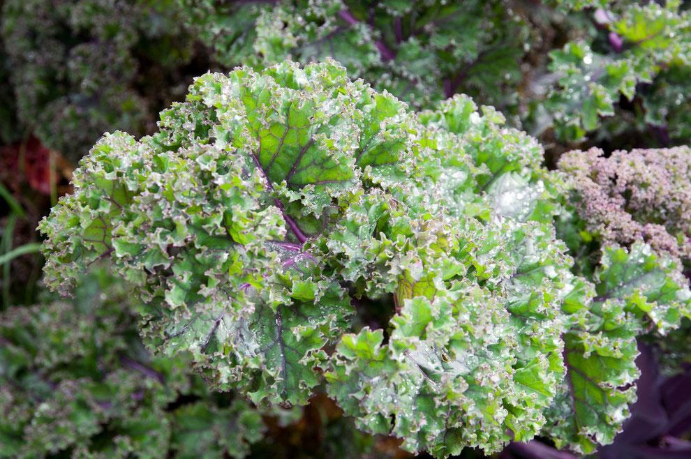 Roter Grünkohl (Brassica oleracea var. sabellica)