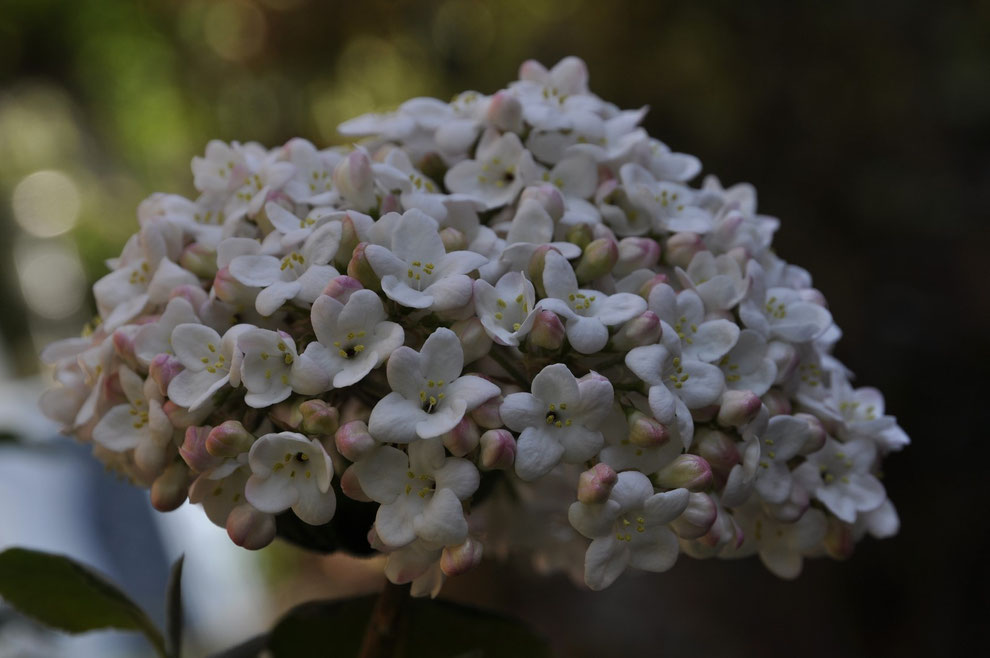 Koreanischer Schneeball (Viburnum carlesii)