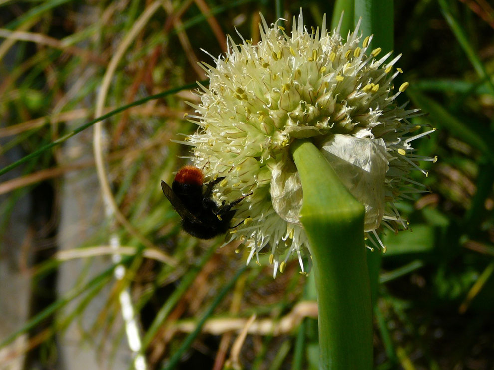 Hummel an Winter- Heckzwiebel (Allium fistulosum)