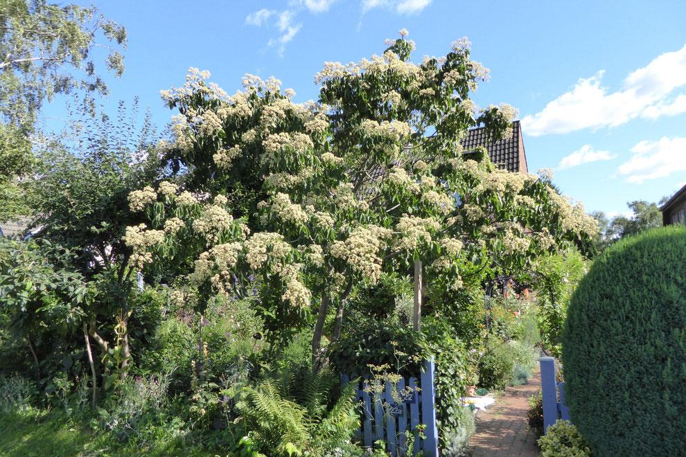 Bienenbaum- Euodia hupehensis-