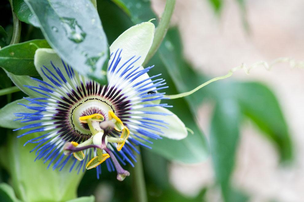Passionsblume (Passiflora caerulea)