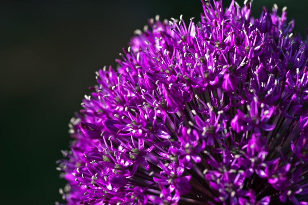 Zierlauch (Allium giganteum)
