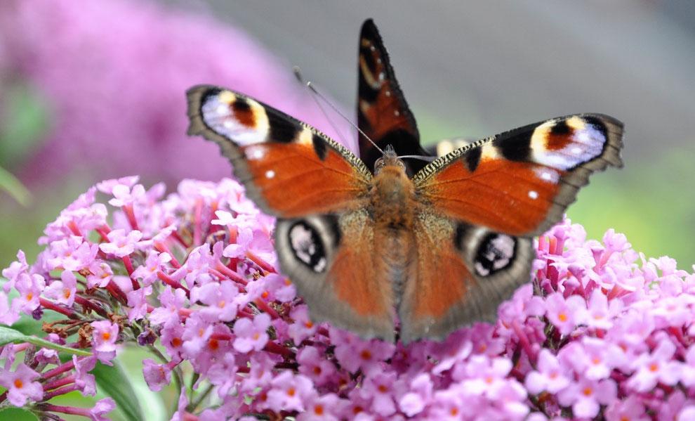 Doppel-Tagpfauenaugen auf Schmetterlingsstrauch (Buddleja davidii)