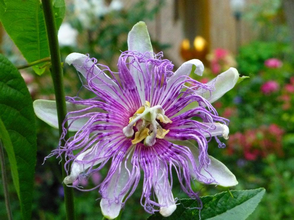 Passionsblume (Passiflora incarnata)