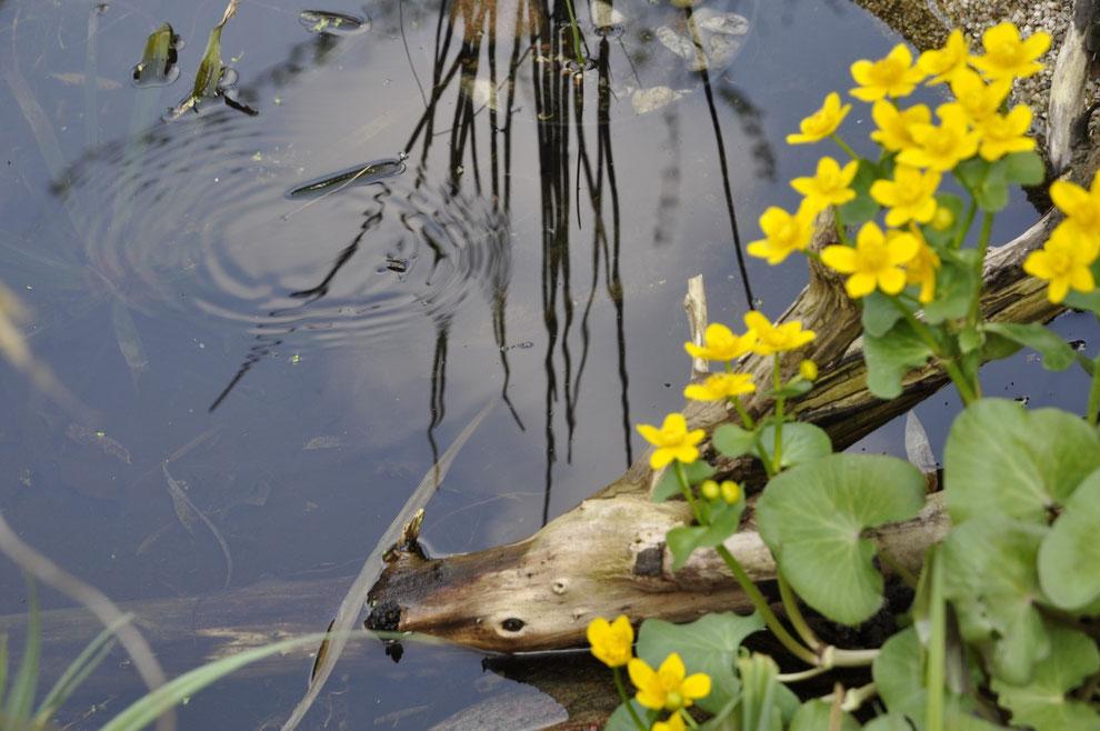 Sumpfdotterblumen (Caltha palustris) am Teich