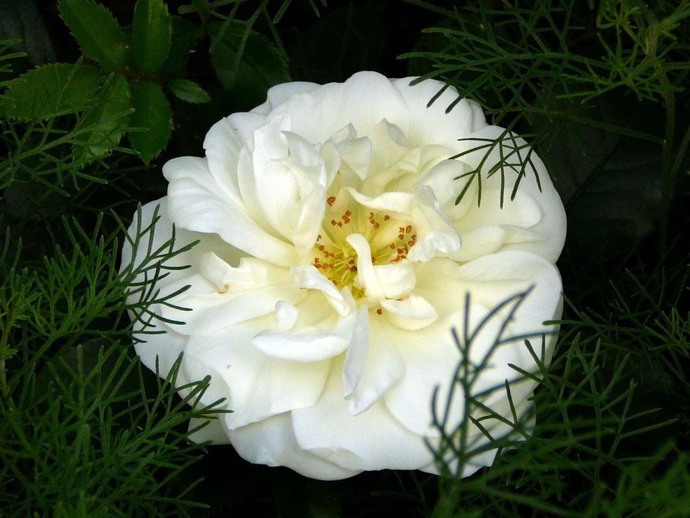 """Rose """"Aspirin"""" + Eberraute (Artemisia abrotanum)"""