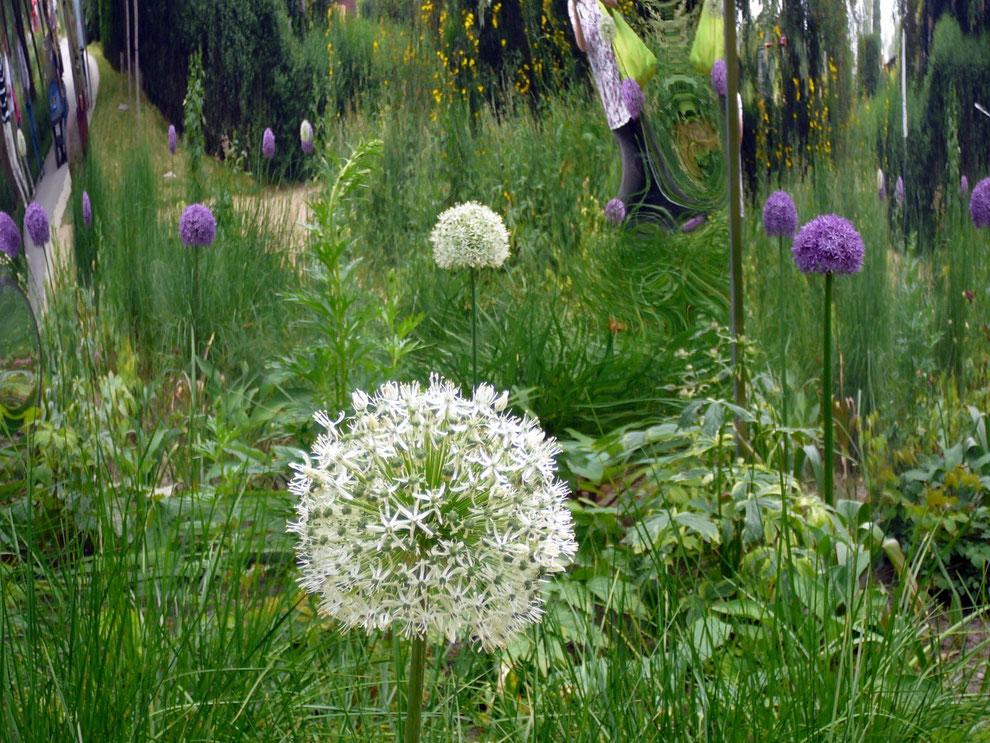 Besonders diese Allium in Verbindung mit Gräsern und Schattenpflanzen zwischen den Bäumen sind schon sehr chic!