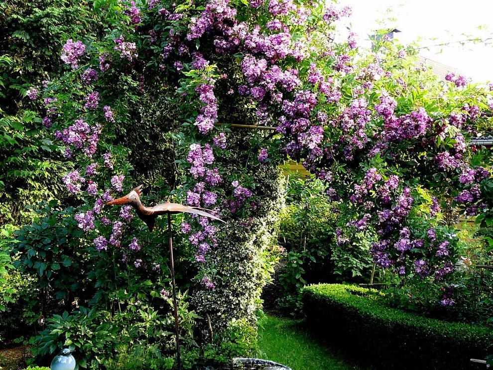 """Blick aus dem """"Rosen-Garten"""" auf den Rambler """"Veilchenblau"""""""