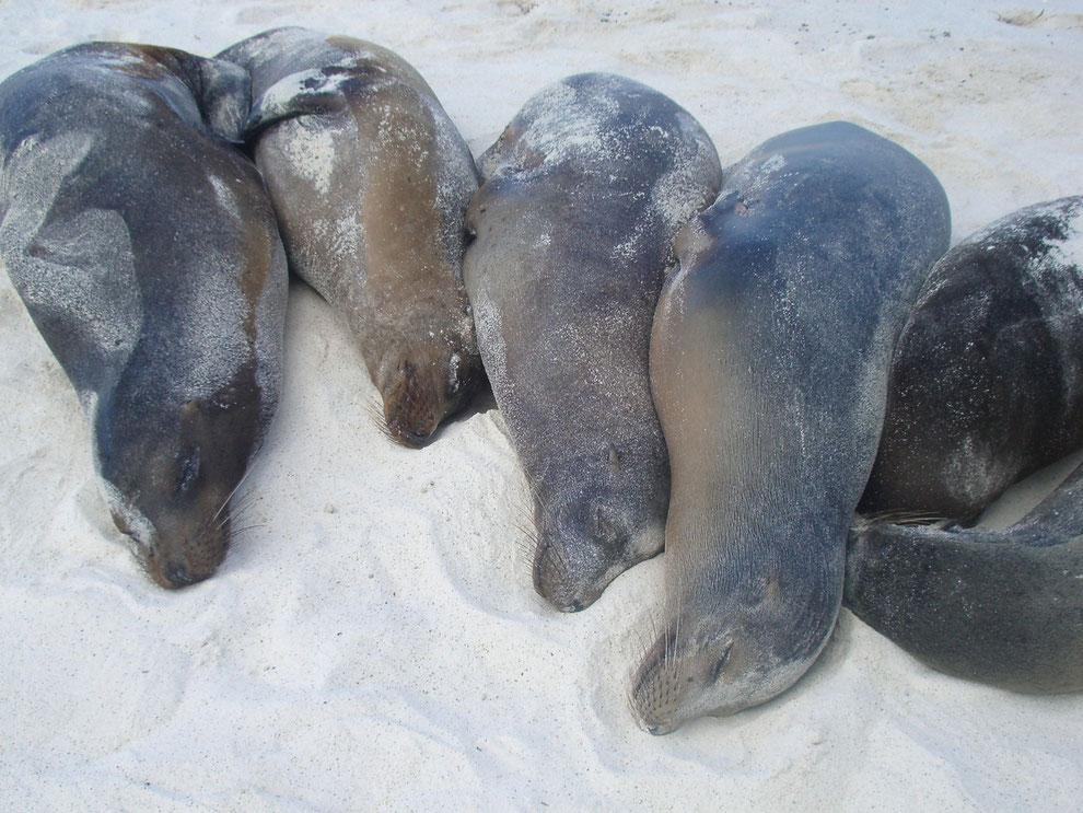 Insel Isabela, Gardner Bay, Seelöwen sonnen sich am weissen Strand