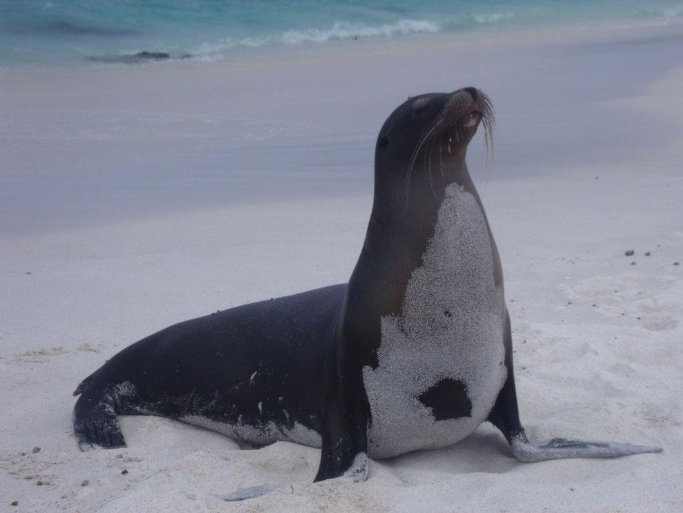 Galápagos Kreuzfahrten führen häufig zum Traumstrand Gardner Bay auf der Insel Española