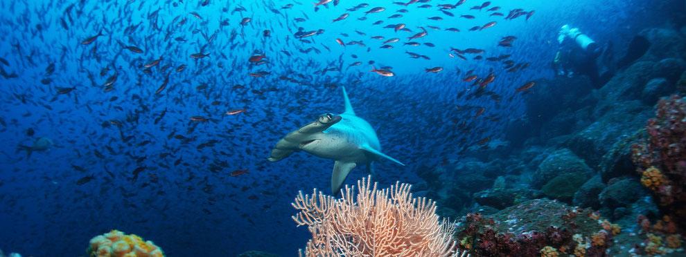 Schon beim Schnorcheln auf den Galápagos Inseln hat man gute Möglichkeiten Haie zu sehen