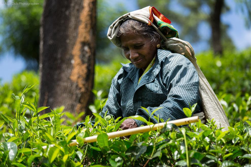 Le bâton de bambou ainsi posé sur les plants de thé sert d'indicateur à la cueillette des feuilles les plus riches en substance