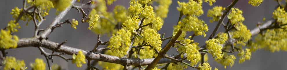 Blüte der Kornellkirsche (Cornus mas)