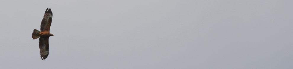 ziehender, junger Wespenbussard im Spätsommer über dem Oberen Sarganserland