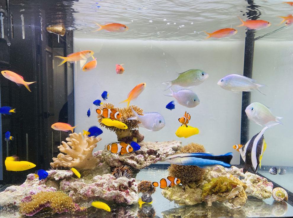 海水魚の正しい選び方を説明しています
