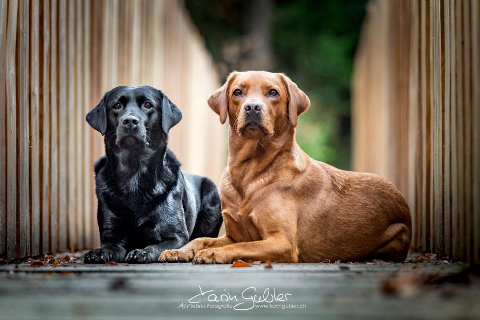 Nala & Ruby - unsere beiden Labrador-Hündinnen