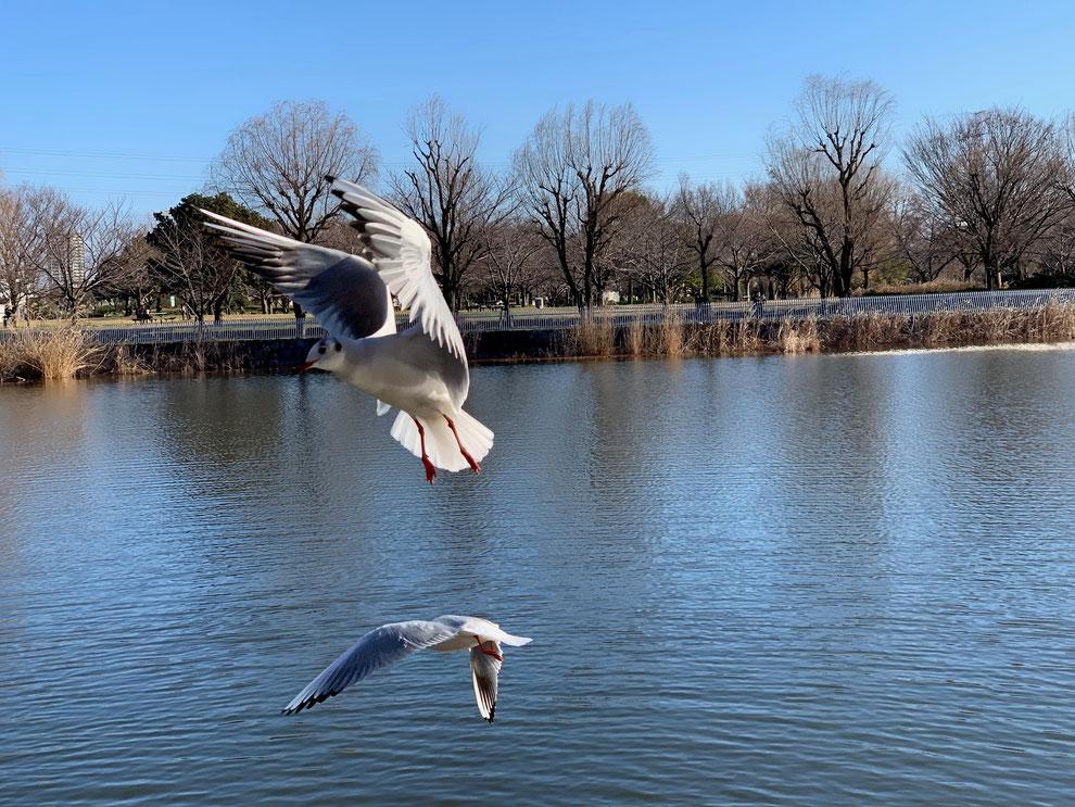 都民の鳥、ゆりかもめ ダイナミックです