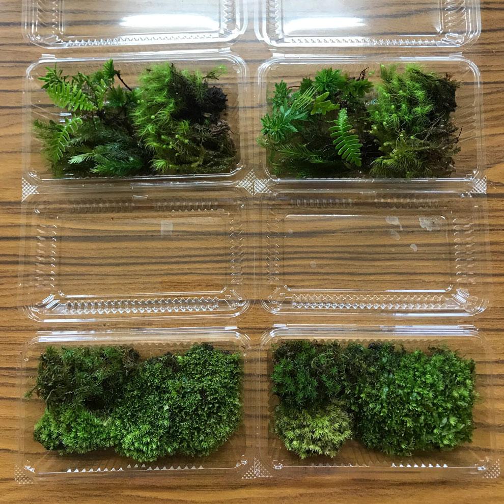 写真は二人分の苔やシダ類になります。※季節や天候によって苔やシダの内容は変わります。