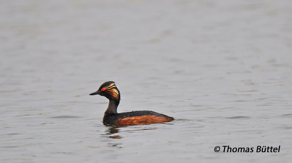 Black-necked Grebes breed in fluctuating number on the ponds.