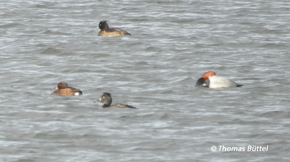 Ferrugineous Duck (the left-most bird)