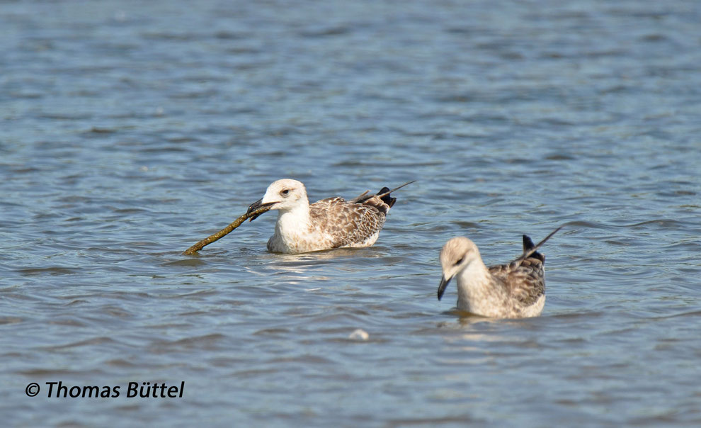 juvenile Yellow-legged Gulls