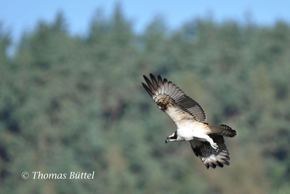 a late Osprey
