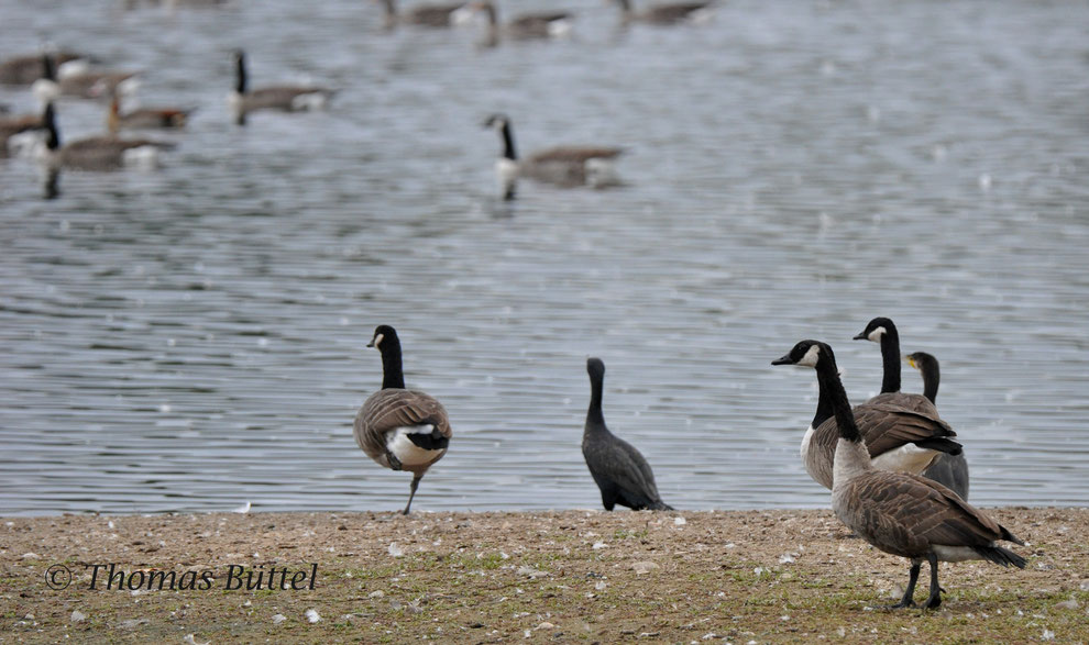 "Canada Geese on the ""Großer Wörth"" (plus two Cormorants and a Egyptian Goose)"